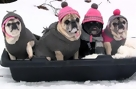 Pugs Go for a Sleigh Ride