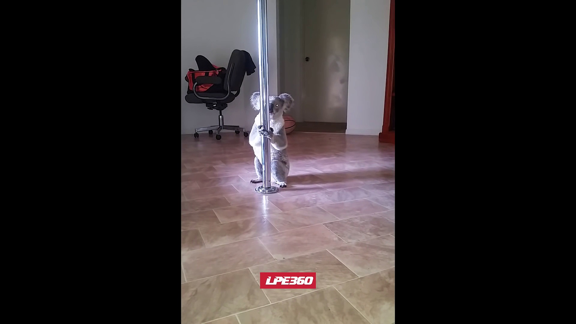 Ce koala fait irruption dans la maison d'une femme et essaye pour la première fois le pôle dance.